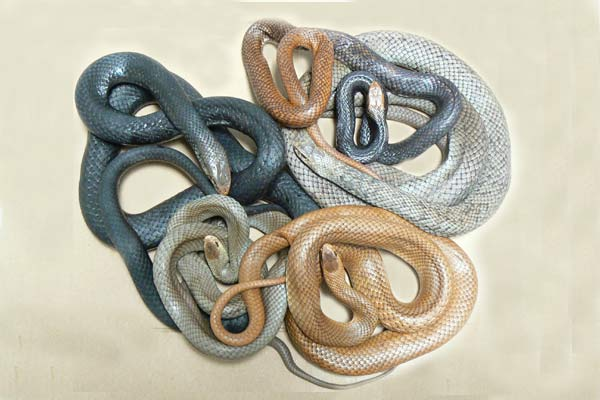 Adult Eastern Brown snakes showing colour variations